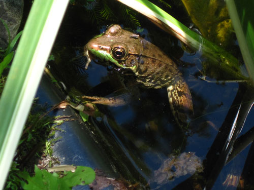 The author has two small artificial ponds on her property that teem with numerous kinds of critters (such as this Green Frog), many of which feed upon mosquito eggs and larvae. (Photo: Marlene A. Condon)