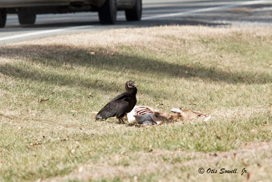 The Black Vulture's preference for feeding upon putrefying (bacteria-ridden) carcasses makes it extremely important to our own health. (Photo: Otis Sowell, Jr.)