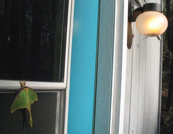 Planting an oak to support caterpillars that feed birds is useless when ubiquitous and overly bright nighttime lighting keeps so many moths (such as this Luna Moth) from mating. (Note the numerous dead insects at the bottom of this light fixture that burned for days when the absent owner forgot it was on.) Photo: Marlene A. Condon.