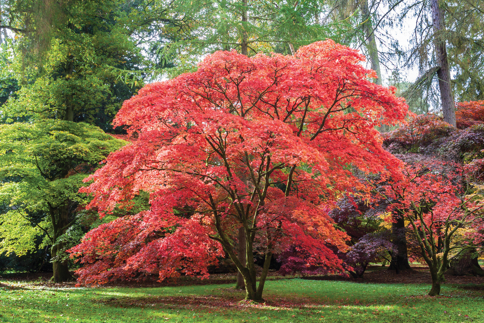 In the garden japanese maples crozet gazette for Arbre de jardin a croissance rapide