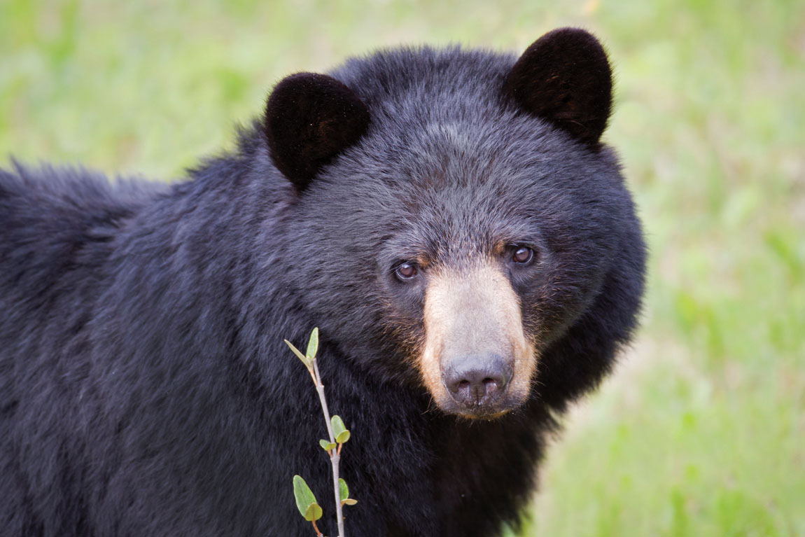 Black Bears and the Goldilocks Principle: How Many Is Just ... - photo#35